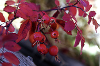 The rose hip, or rose haw, is the fruit of the rose plant, that typically is red-to-orange.<br />