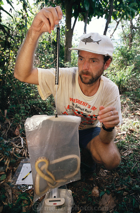 Guam; Earl Campbell's brown tree snake research in a jungle area near Andersen Air Force Base. Snakes trapped, tagged, sexed, measured, weighed and released. . There are no birds on the Pacific Island of Guam thanks to the Brown Tree Snake. These hungry egg-eating snakes have overrun the tropical island after arriving on a lumber freighter from New Guinea during World War II. Besides wiping out the bird population, Brown Tree Snakes cause frequent power outages: they commit short circuit suicide when climbing between power lines.