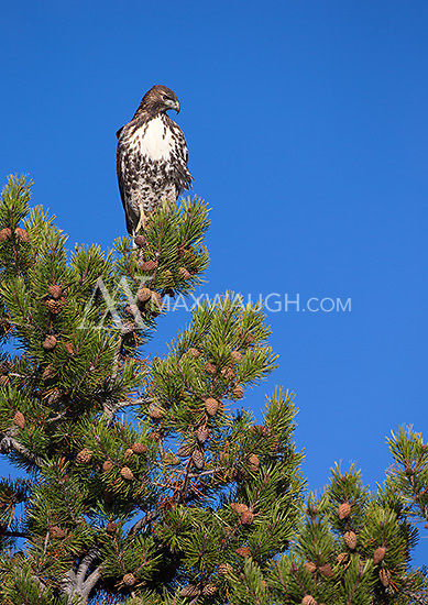 A juvenile red-tailed hawk watches from its perch in Yellowstone.