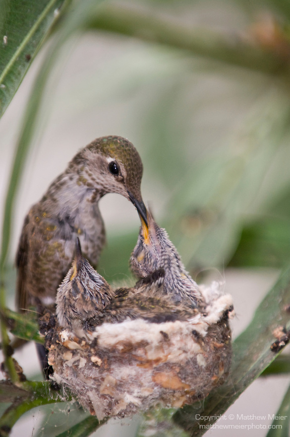 La Jolla, California; a female Anna's Hummingbird (Calypte anna) sitting on the edge of her nest feeding her two, one week old chicks