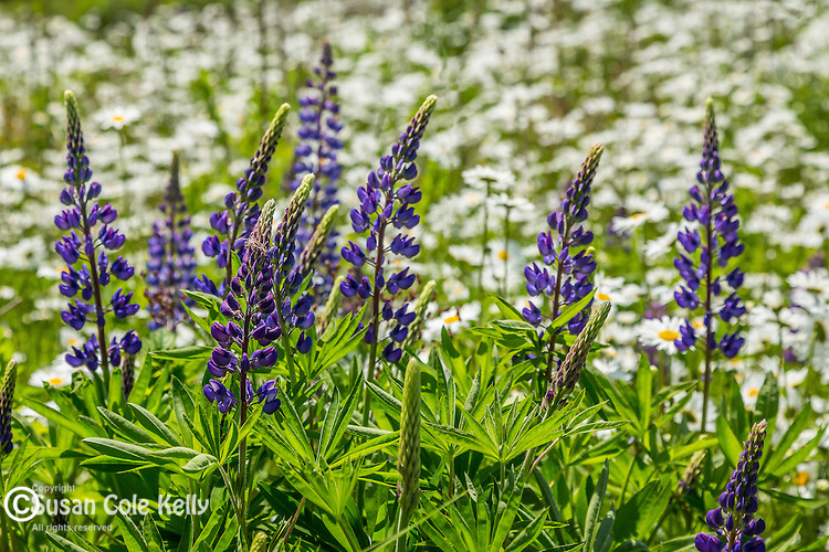 Lupines and daisies in Brooklin, Maine, USA