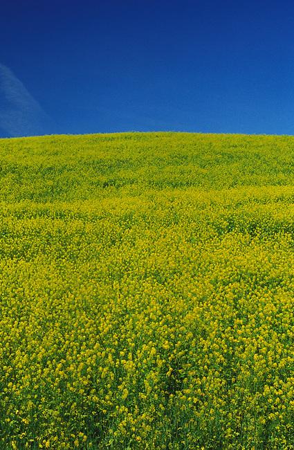Mustard in fallow vineyard