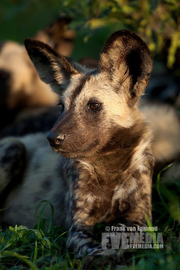 African Wild Dog (Lycaon pictus)...Portrait. Endangered species...Hluhluwe Imfolozi Game Reserve..Kwazulu-Natal, South Africa..November 2010.
