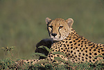 Cheetah mom and cubs (Acinonyx jubatus)