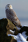 Snowy Owl perched on a log in Saskatchewan.