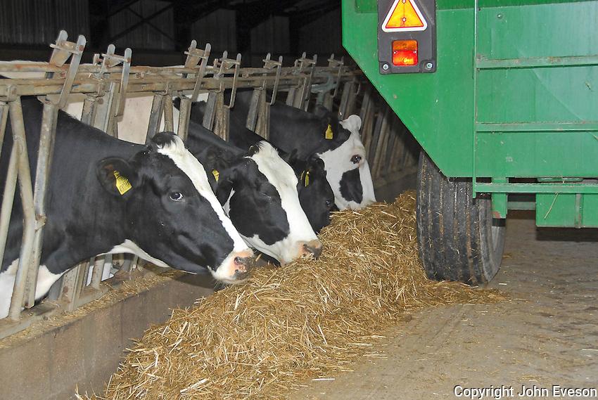Feeding dry cows.
