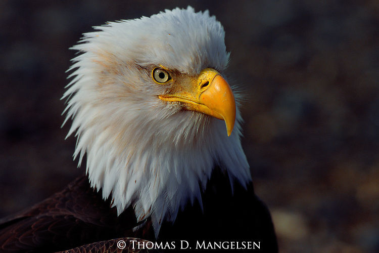 A portrait of a bald eagle in Southcentral Alaska.