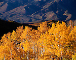Autumn morning, Loop Road, Mt. Nebo, Wasatch Mountains