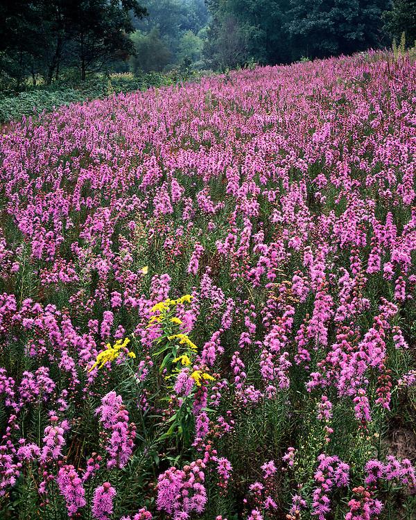 Field of Blazing Star (Liatris aspera) in bloom on the Nachusa Grasslands; Lee County, IL