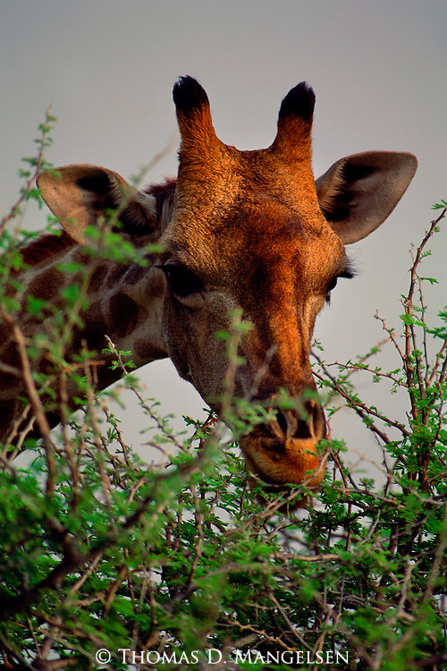 A giraffe eats the leaves off a thorny acacia tree in Etosha National Park, Namibia.