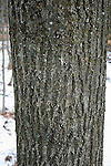 Bark and trunk of red oak tree, Quercus rubra