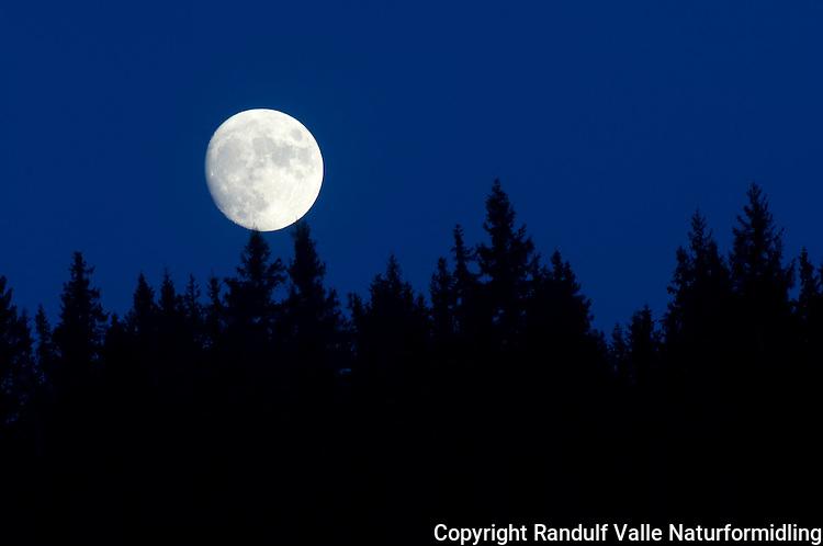 Fullmåne over granskog ---- Full moon and forest