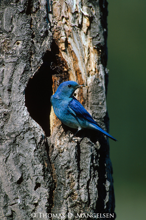 Mountain bluebird perches on the edge of its nesthole in Yellowstone National Park, Wyoming.