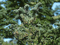 Noble Fir Abies procera (Pinaceae) HEIGHT to 50m. Extremely large, narrowly conical conifer when mature BARK Silver-grey or purplish; develops shallow fissures with age. BRANCHES Youngest twigs are reddish-brown and hairy, with resinous buds at tip. LEAVES Bluntly pointed needles, 2-3cm long, grooved on upper surface; blue-grey colour is marked by paler bands on both surfaces. REPRODUCTIVE PARTS Male flowers are reddish and supported below shoot. Cylindrical female flowers, resembling small cones, are red or green and grow on upper side of shoot; green spine emerges beneath each scale. Cones, up to 25cm long, held erect on upper side of the branches. Disintegrate in winter, but may be so abundant that branches are damaged by their weight. STATUS AND DISTRIBUTION Native to Pacific NW USA. Planted in our region since 1850, reaching greatest size in Scotland.