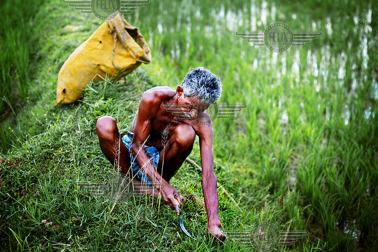 A man tends to his rice paddy fields. This region is known for rice growing and it forms almost 100 per cent of the local diet.