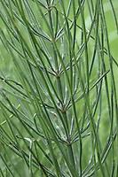 Acker-Schachtelhalm, Ackerschachtelhalm, Schachtelhalm, Zinnkraut, Equisetum arvense, Common Horsetail