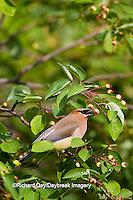 01415-02819 Cedar Waxwing (Bombycilla cedrorum) eating berry in Serviceberry Bush (Amelanchier canadensis), Marion Co., IL
