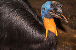 a portrait of a Northern Cassowary (Casuarius unappendiculatus) bird