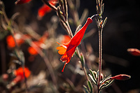 Hummingbird trumpet, aka California fuchsia, provides a vivid splash of orange along the walking path at the Martin Luther King Jr. Regional Shoreline in Oakland, California.