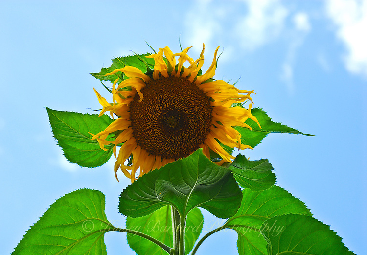 Towering domestic sunflower back lit by blue sky.