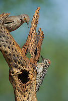 597930020 a wild male ladder-backed Woodpecker picoides scalaris perches on a dead cactus plant skeleton with a curve-billed thrasher toxostoma curvirostre near madera canyon green valley arizona united states