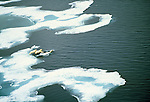 Two second year cubs jump from the sea ice into the ocean after their mother near Somerset Island, in Nunavut, Canada.