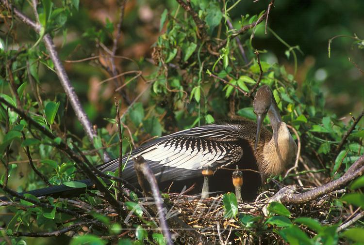 Anhinga Mother Nesting with Chicks, Everglades NP, Florida, USA