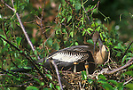 Anhinga Mother Nesting with Chicks, Everglades NP, Florida, USA