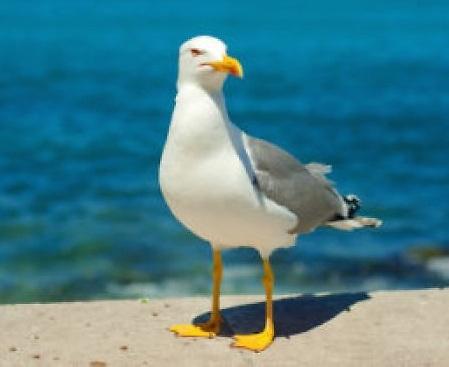 The herring gulls of Howth