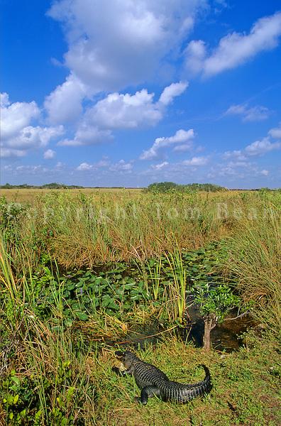 Alligator in slough along Shark Valley Tram Road in Everglades National Park, Florida, AGPix_0647.
