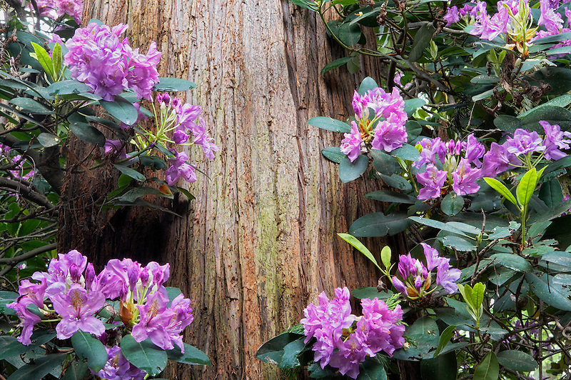Rhododendron and Cedar tree. Crystal Springs Rhododendron Garden. Portland, Oregon