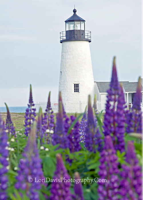 LH-50   Lupine at Pemaquid Point Light