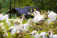 The tiled roof azumaya (waiting building) shelter is seen in background with blooming white star magnolias with leaves just starting to appear in early Spring at the Portland Japanese Garden