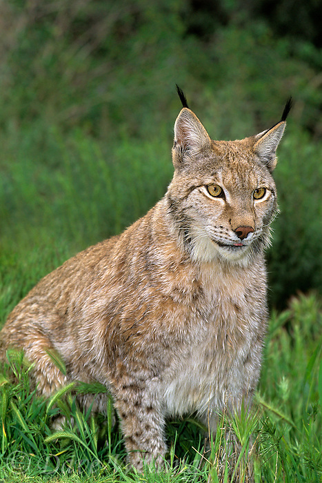 657149015 a captive canadian lynx felis lynx sits in a grassy field- animal is a wildlife rescue animal and species is native to the northern tier of north america and is endangered in the wild