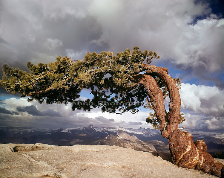 Jeffrey Pine, Sentinel Dome Yosemite National Park  CALIFORNIA
