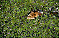 Felis concolor (Linaeus, 1771). Família Felidae. Nome popular: sussuarana, onça-parda.<br /> <br /> Amazonas, Brasil.<br /> <br /> ©Foto: Marcello Lourenço