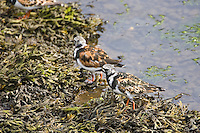 Turnstone birds feeding on seaweed in the Wick River, Scotland, United Kingdom