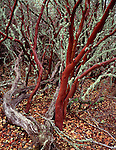 Lower Table Rock Preserve, OR<br /> Smooth texture and red color of the Silverleaf Manzanita (Arctostaphylos viscida) with light grren lichen on smaller branches