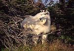 mountain goat in Glacier National Park