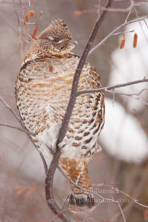 Ruffed Grouse often feed on the buds of alder and other plants when snow blankets the ground.