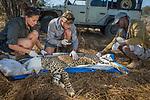 Cheetah (Acinonyx jubatus) biologists, Caz Sanguinetti and Milan Vinks, and veterinarian, Kambwiri Banda, collaring twenty-one month old sub-adult female, Kafue National Park, Zambia