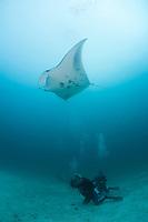 Diver watching reef manta ray, Manta alfredi, Kandooma Manta Point, South Male Atoll, Maldives