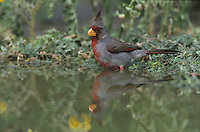 Pyrrhuloxia, Cardinalis sinuatus, male bathing, Starr County, Rio Grande Valley, Texas, USA, May 2002