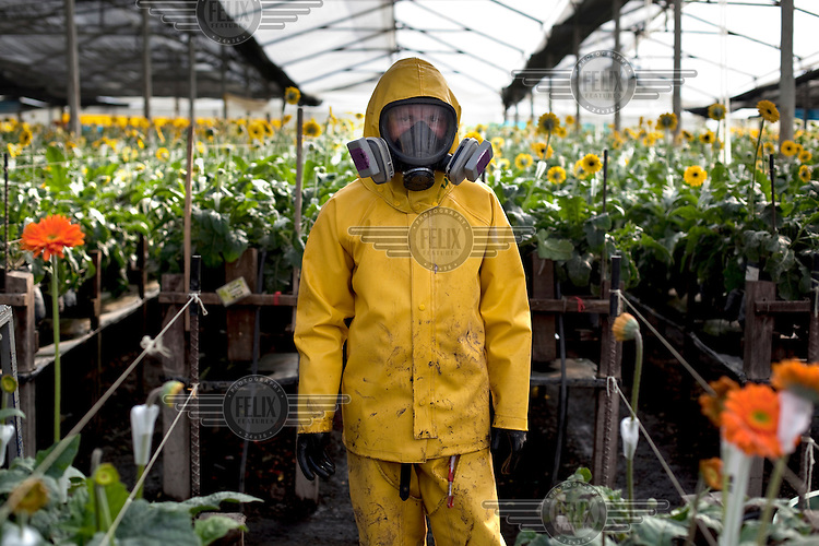 A worker prepares to spray yellow Gerberas with chemicals at M G Consultores, a flower plantation in Chia, Colombia.  Workers' unions complain that the chemicals are harmful to the employees and that they are exposed to the chemicals for extended amounts of times instead of rotating jobs.