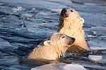 Polar bear, Canada