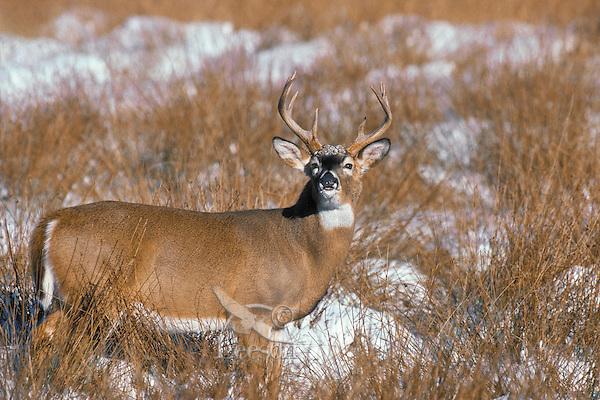 White-tailed deer. .(Odocoileus virginianus)..Winter. Canada.