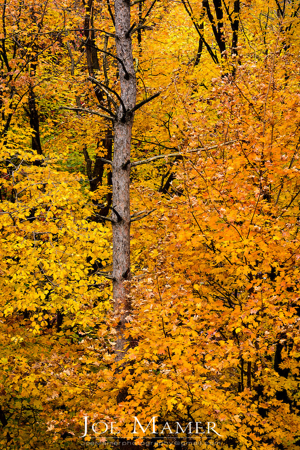 Yellow maple leaves at the Minnesota Landscape Arboretum.