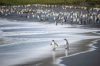 A colony of King Penguins (Aptenodytes patagonicus), Gold Harbour, South Georgia and the South Sandwich Islands, British overseas territory, South Atlantic Ocean