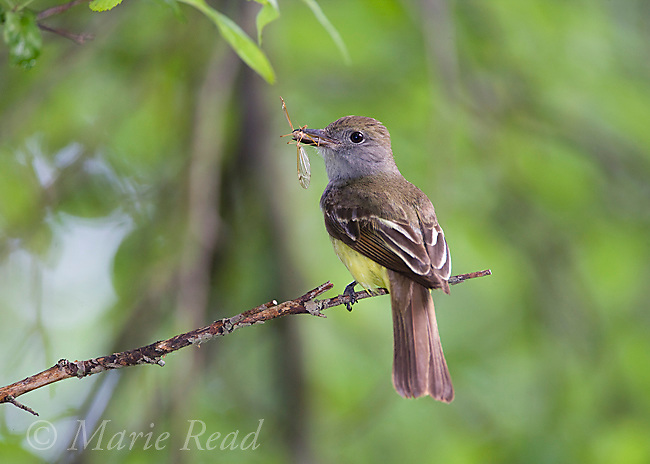Great Crested Flycatcher (Myiarchus crinitus), with insect (Crane Fly (Tipula sp.)) in its bill, New York, USA