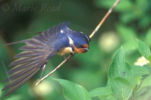 Barn Swallow (Hirundo rustica), stretching its wing, New York, USA. <br /> Slide # B114-104